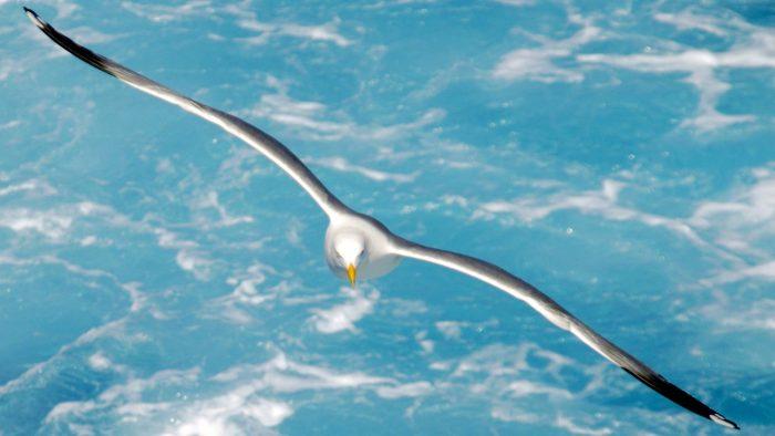 Летящая чайка